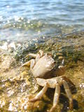 Crab. A small crab on the shores of the Adriatic sea Royalty Free Stock Photos