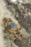 Crab. A crab at the mission rock in the St.Lucia wetland park in southafrica Stock Images