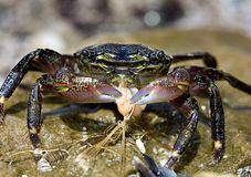 Crab. Picture of very colorfull crab stock image
