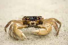 Crab. Closeup of crab on beach Royalty Free Stock Images