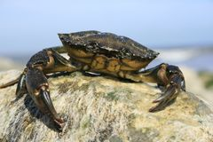 Crab. A seaside crab sitting atop a rock. Detailed close up view of its main claw.Location, Christchurch, Dorset England Stock Photos