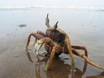 Crab. On the Indian Ocean Coast, Maharashtra, India Stock Photography