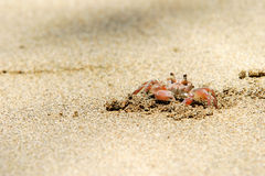 Crab. Small crab digging a hole in the sand Stock Images