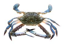 Crab Stock Image