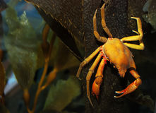 Crab. Brown and yellow crab on kelp under water Royalty Free Stock Images