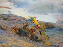 Crab & algae. Royalty Free Stock Photos