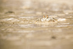 Crab. Alive funny White crab trying to escape from the water, Maldives stock image