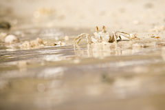 Crab. Alive funny White crab trying to escape from the water, Maldives royalty free stock photo