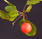 Crab apple. And leaves on a dark background Royalty Free Stock Photo