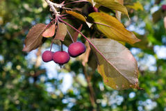 Crab Apple Stock Images