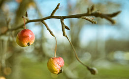 Crab-apple Stock Photos