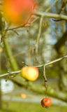 Crab-apple Royalty Free Stock Photography