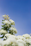 Crab apple Blooms. White crab apple blooms against a clear blue sky, with selective focus Stock Photo