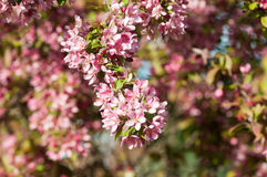 Crab apple blooms Royalty Free Stock Images