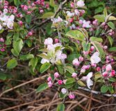 Crab apple blossom Stock Photos