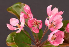 Crab apple blossom Royalty Free Stock Photo