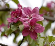 Crab Apple Blossoms. Dark pink crab apple blossoms in spring Stock Images