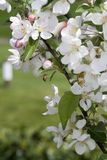 Crab Apple Blossoms Stock Image
