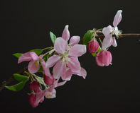 Crab Apple Blossoms against a black background. Close up of multiple pink and fuchsia crab apple blossoms on a branch with some buds and foliage. Photo has a royalty free stock photography