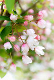 Crab apple blossoms in april Stock Photo