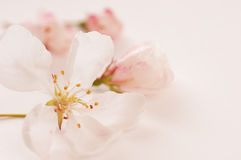 Crab Apple Blossoms bathing in Light Pink Stock Photos