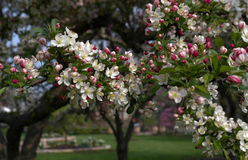 Crab apple blossoms Stock Photos