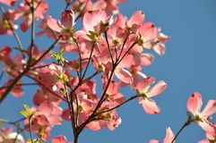 Crab apple blossoms with blue sky Stock Images