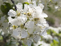 Crab apple blossoms in the spring Stock Photo