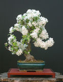 Crab apple bonsai Stock Photos