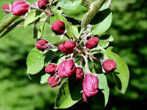 Crab Apple Buds Royalty Free Stock Image