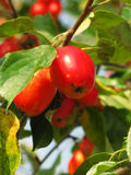 Crab Apple Close Up. Crab Apples ready to pick Royalty Free Stock Photography