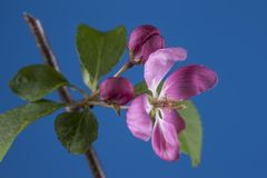 Crab apple flower against blue backdop. A studio macro shot of a flower from the crab apple tree Stock Photos