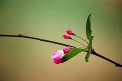 Crab apple flowers. A branch of crabapple flower buds in spring stock photography