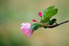 Crab apple flowers. A branch of crabapple flower buds in spring royalty free stock photos
