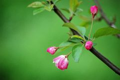Crab apple flowers. A branch of crabapple flower buds in spring stock photo