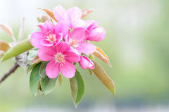 Crab-apple flowers Royalty Free Stock Image