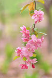 Crab-apple flowers Stock Images