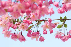 Crab-apple flowers. The close-up of crab-apple branch and flowers stock photos