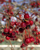 Crab apple fruit in winter. Fruit of a crab apple tree (Malus Donald Wyman variety), a food source all through the winter for many species of birds Royalty Free Stock Photo