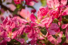 Crab Apple Malus Pink Flowers Detail. Spring Scene Royalty Free Stock Images