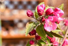 Crab Apple Malus Pink Flowers And Leaves. Crab Apple Malus Pink Flowers With Leaves Detail Garden Background Stock Images