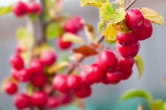 Free Crab Apple Malus Red Sentinel Stock Photo - 63306170