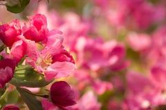 Crab Apple Pink Flower Background. Soft Pink Blossoms Spring Scene Stock Images