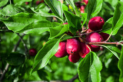 Crab apple Royalty Free Stock Photography