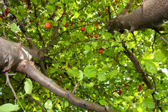 Crab apple tree. Looking up a crab apple tree stock images