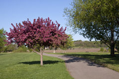 Crab Apple Tree. A blooming crab apple tree in a park next to a paved trail Stock Photography