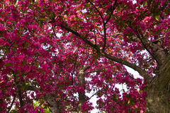 Crab Apple Tree Royalty Free Stock Photos