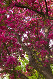 Crab Apple Tree. A close view of a crab apple tree in spring Stock Images