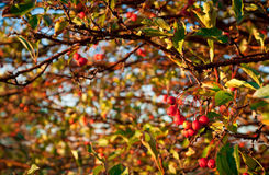 Crab Apple Tree Stock Photography