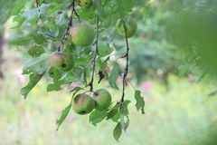 Crab apple tree. Apples from a crab apple tree looking through the leafs giving a soft hazy look royalty free stock photo